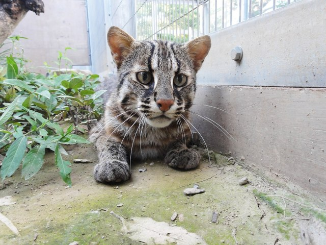 【ツシマヤマネコ】長崎県対馬にのみ生息する野生のネコで、生息数が100頭程度しかない絶滅危惧種。